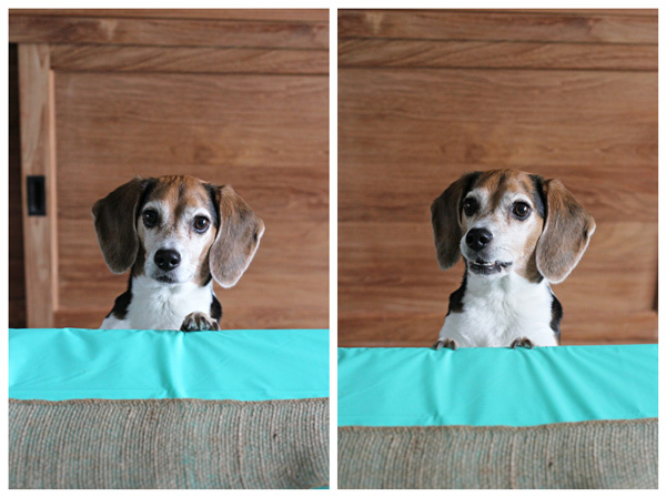 A cute beagle trying to get food off a table.