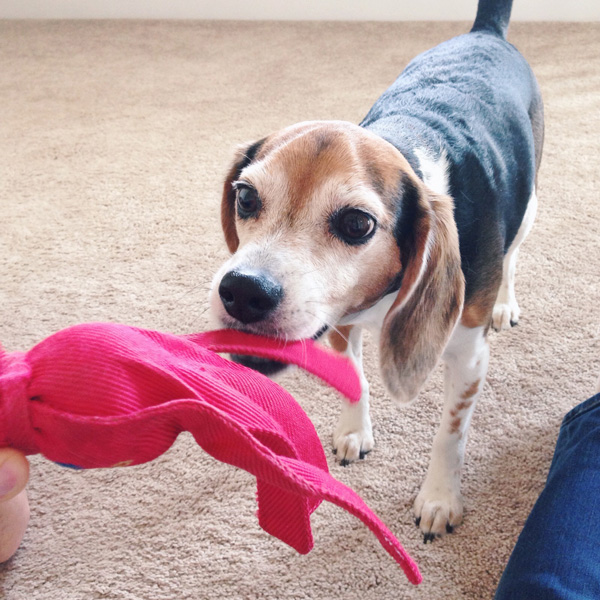 A cute beagle playing with a red toy.