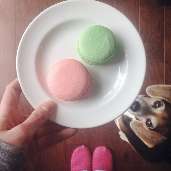 Two macarons on a plate with a beagle begging to the side.