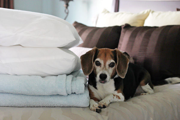 A beagle laying on a bed with pillows / blankets sitting next to her.