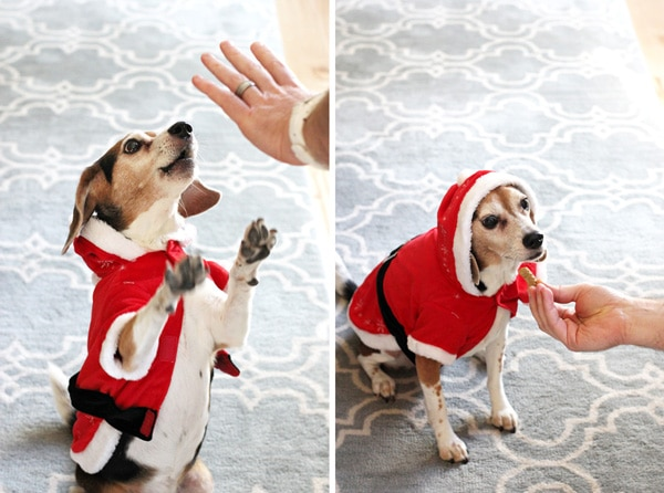 Two views of a cute beagle in a Santa costume trying to get a treat.
